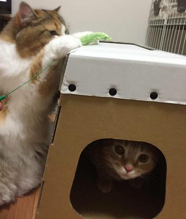 ダンボール製 猫ハウス -使用中2